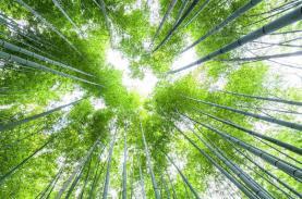 Rừng tre Nhật Bản thu hút hàng chục triệu du khách