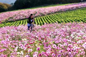 Công viên hoa rực rỡ quanh năm trên đảo nhỏ Nhật Bản