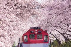 HÀN QUỐC mùa hoa anh đào: SEOUL - NAMI - EVERLAND - BUSAN